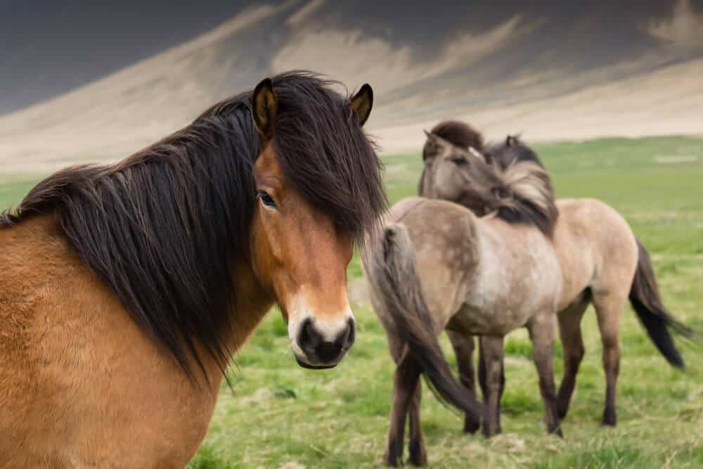 Icelandic horses are perfect for kids
