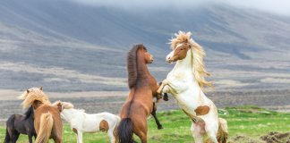 Icelandic horses in the meadows