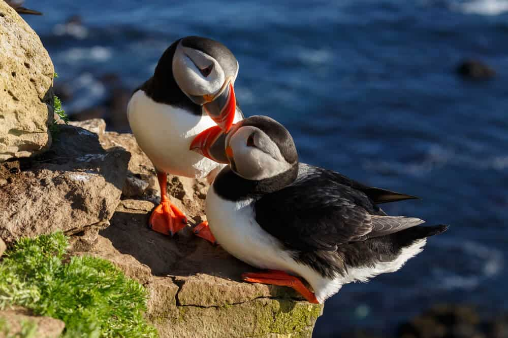 Puffins are one the huge draws of Icelandic tourism