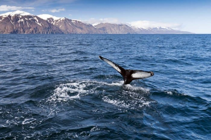 A whale watching excursion should be included during your 24 hours in Reykjavik
