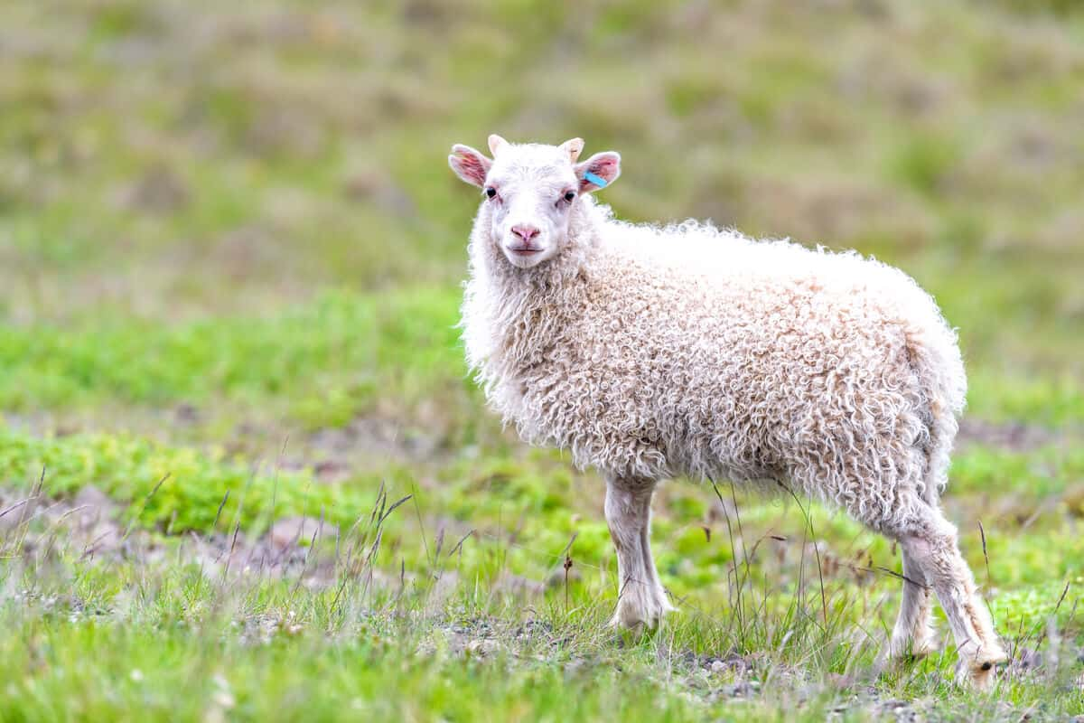 Icelandic sheep provide the wool for lopapeysa sweaters