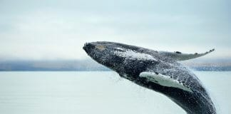 Best things to do in summer Iceland whale watching