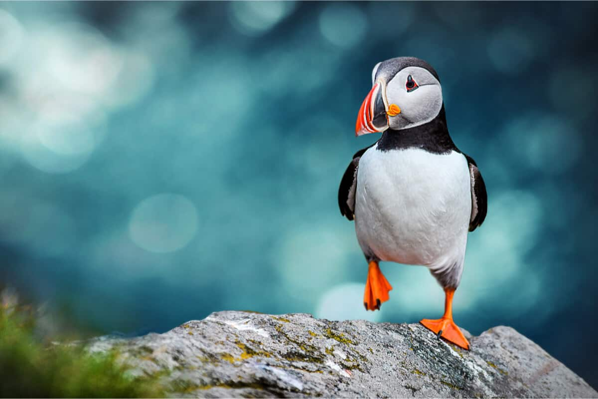 Famous puffins wildlife and animals in Iceland