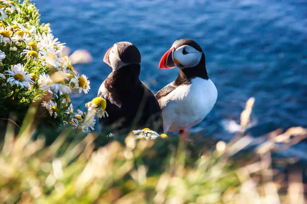 Two puffins in a colony during July in Iceland, the best time to go