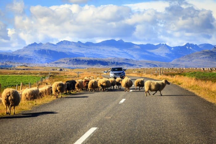 Heard of sheep in Iceland's Ring Road