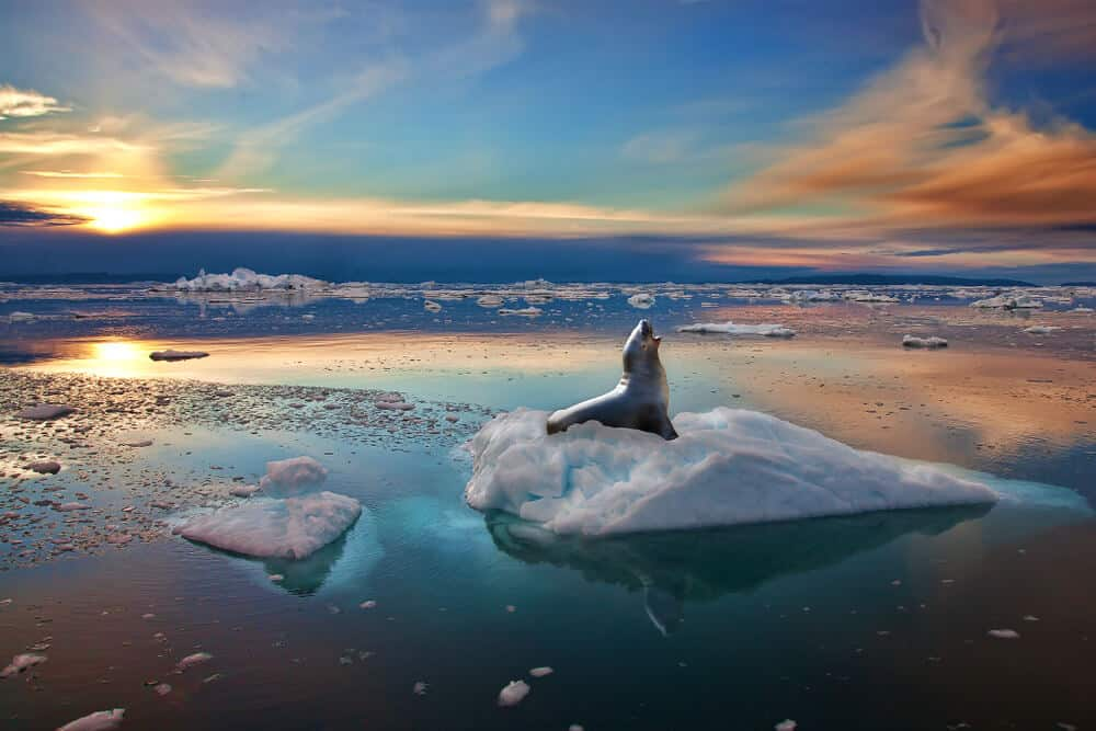 Seal on ice in Greenland during Midnight Sun in Greenland