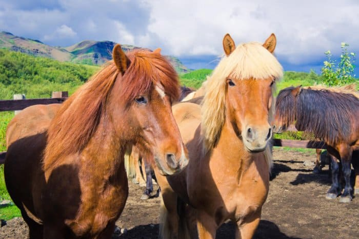 A couple of Icelandic horses with thick manes