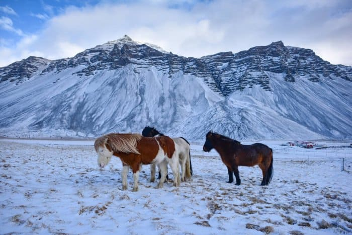 celandic horse in the wild during the winter time