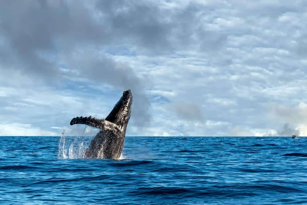 Whale breaching in ocean waters near Húsavík
