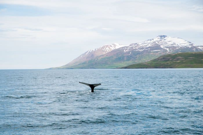 Whale tail in Akureyri, North Iceland