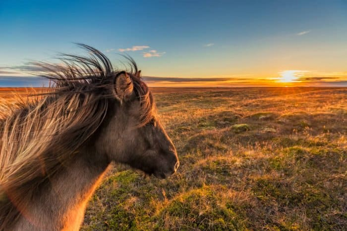 Icelandic horse on a farm in Snaefellsnes peninsula
