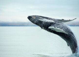 Whale watching in Iceland near Húsavik