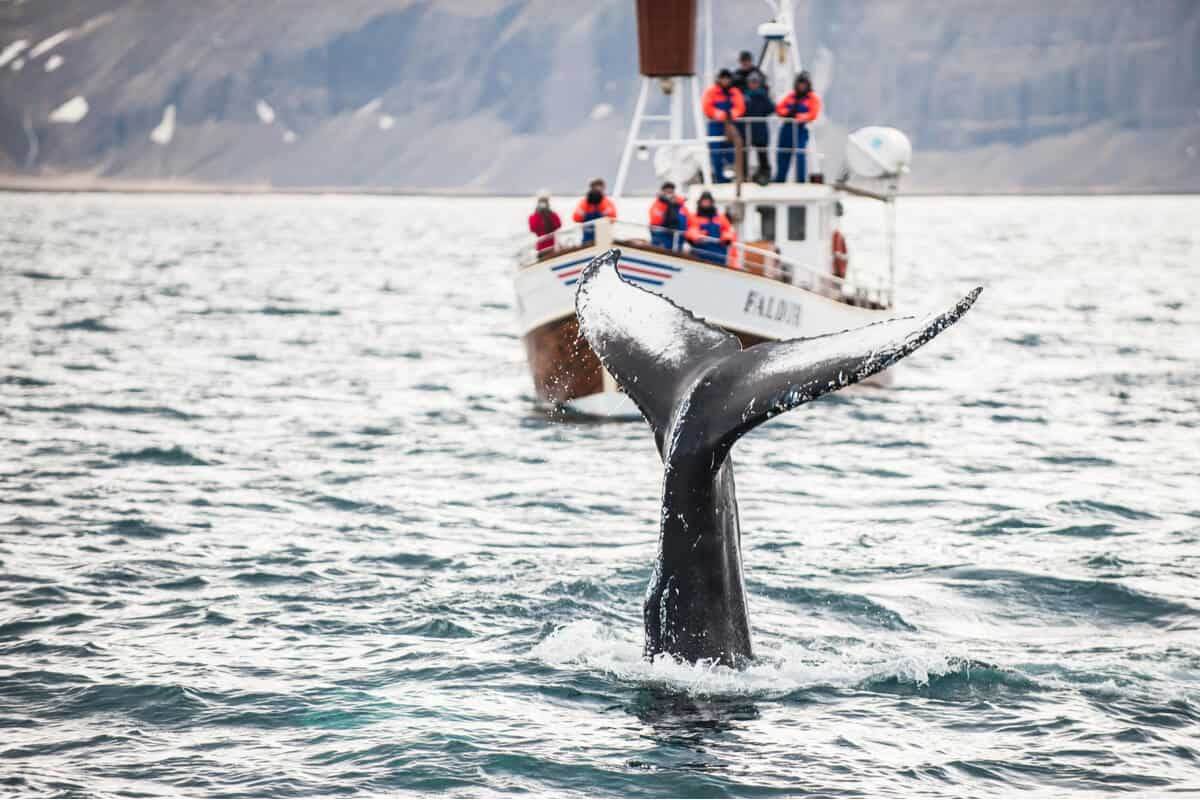 Whale watching in Iceland of the coast of Húsavik
