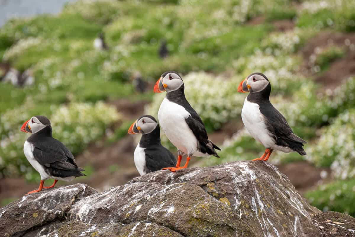 Videy Island puffins