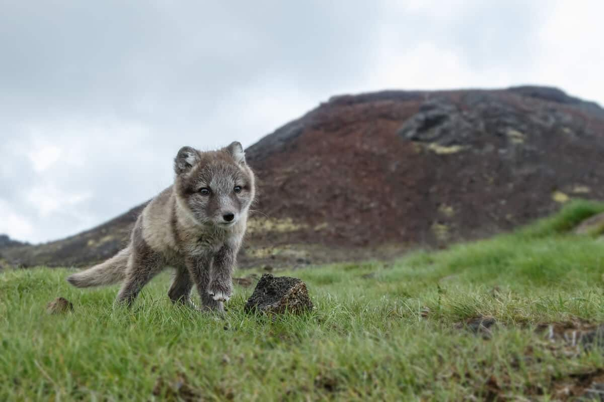 Arctic fox wildlife and animals in Iceland