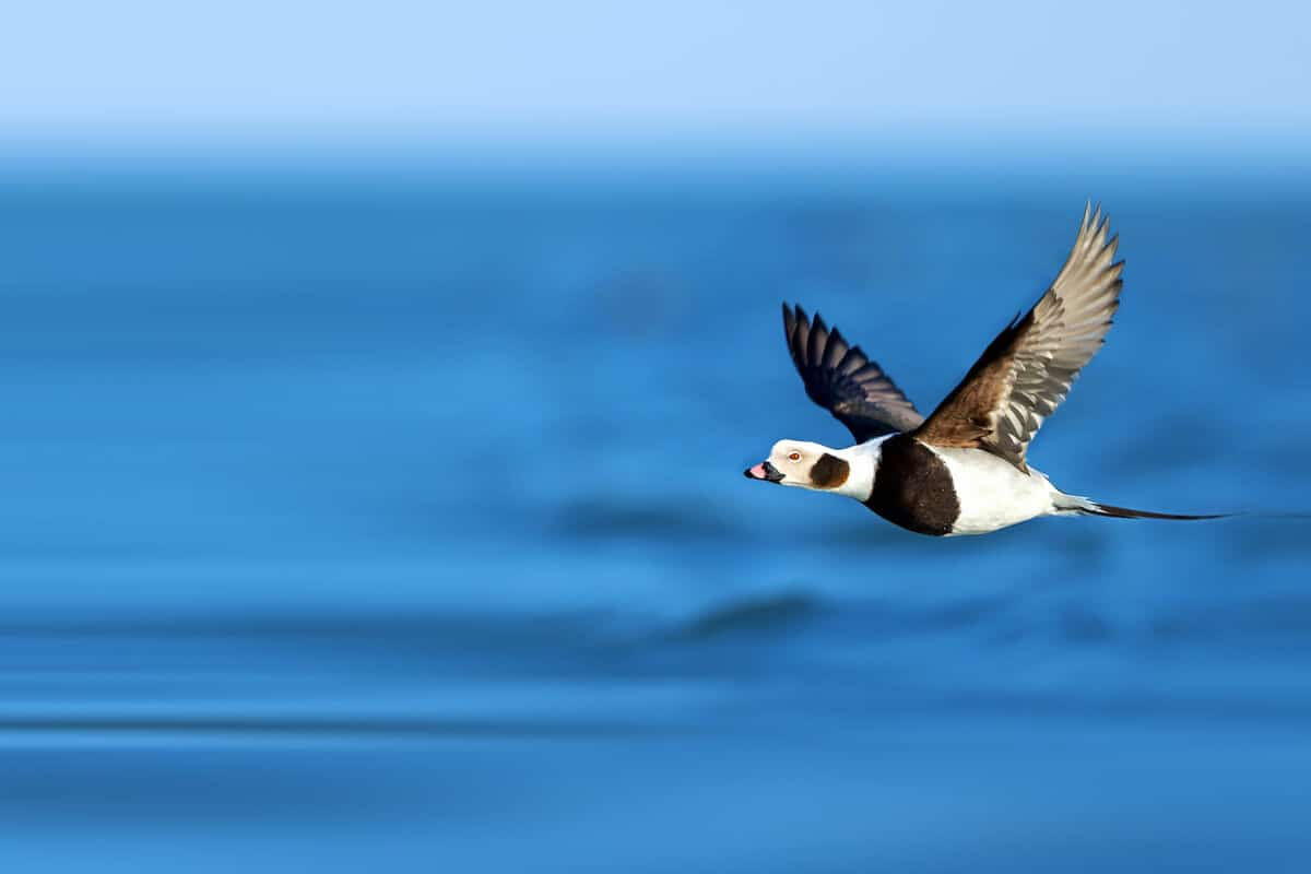 Long Tailed Duck wildlife and animals in Iceland