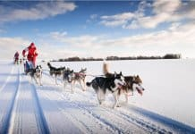 Dog sledding in Iceland