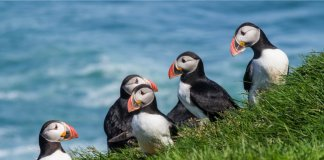 Group of puffins wildlife and animals in Iceland
